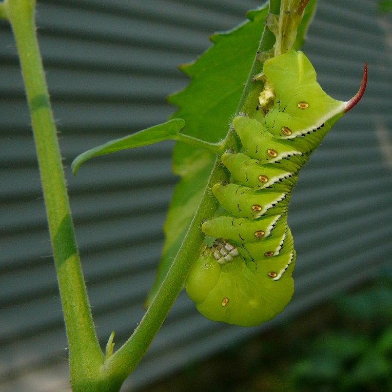 hornworm2